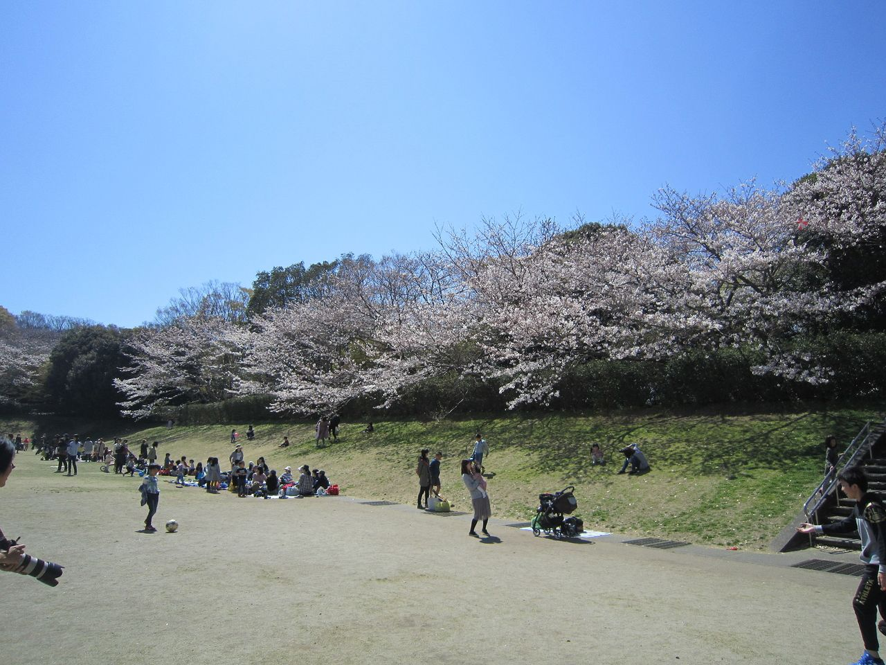 静岡県立大学芝生園地の桜が満開に咲き乱れて、たくさんのお花見客が楽しんでいます。