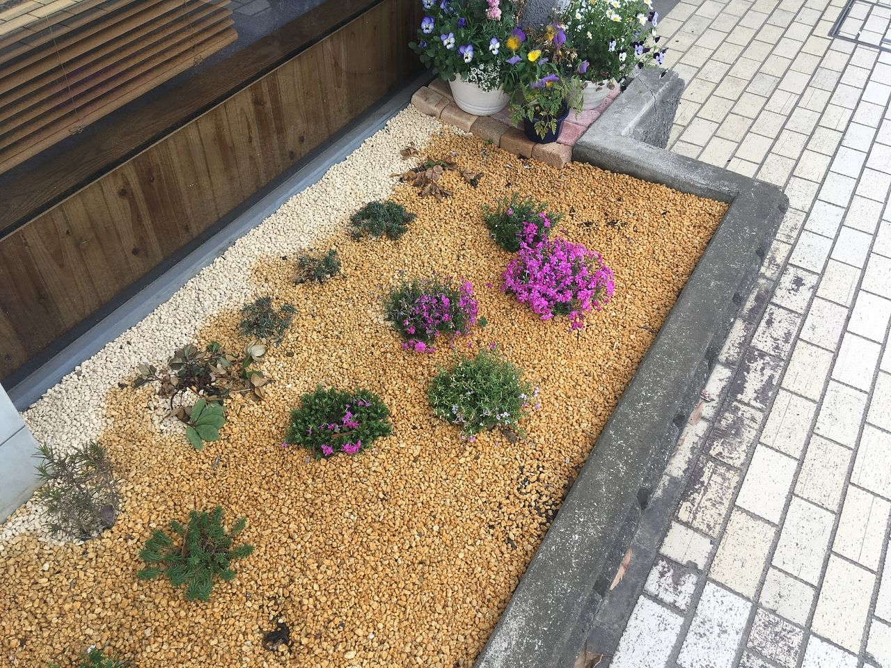 ライフアーキの事務所前の花壇に芝桜が咲きました