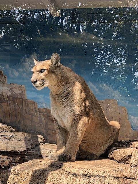 動物園のピューマ。日本平動物園で赤ちゃんピューマの命名式が行われます。